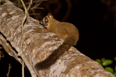 Pale Fork Marked Lemur. Wild Pale Fork Marked Lemur in Madagascar Royalty Free Stock Images
