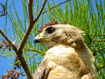 Pale form red shoulder Everglades hawk on the lookout stock images