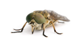 Pale giant horse-fly in front of white background stock photo