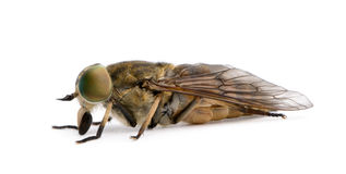 Pale giant horse-fly, in front of white background Stock Photo