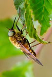 Pale giant horse-fly outdoor (tabanus bovinus) Stock Images
