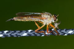 Pale giant horse-fly (tabanus bovinus) Royalty Free Stock Images