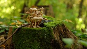 Pale Golbs at Stump with Moss. stock images