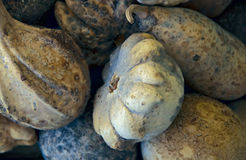 Pale Gourds. A collection of pale, whitish gourds recently harvested Royalty Free Stock Image