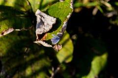 Pale Grass Blue Butterfly en una hoja Fotos de archivo