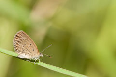 Pale grass blue butterfly Royalty Free Stock Photo