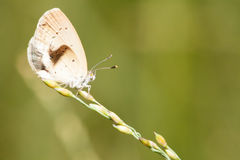 Pale grass blue butterfly Stock Photography