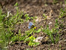 Pale grass blue butterfly on a small flower 1. A pale grass blue butterfly, pseudozizeeria maha, rests on a flower in a Japanese park and nature preserve stock photos