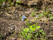 Pale grass blue butterfly on a small flower 2. A pale grass blue butterfly, pseudozizeeria maha, rests on a flower in a Japanese park and nature preserve royalty free stock image