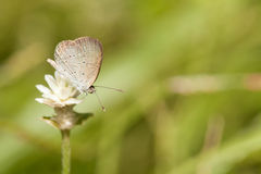 Pale grass blue butterfly. With wild globe everlasting flower stock photos