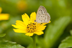 Pale Grass Blue. Feeds on a yellow flower (soft focus Royalty Free Stock Images