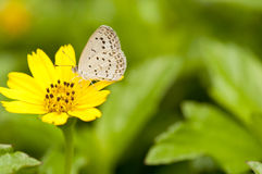 Pale Grass Blue. Feeds on a yellow flower (soft focus Royalty Free Stock Image