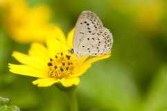 Pale Grass Blue. Feeds on a yellow flower (soft focus Royalty Free Stock Photography