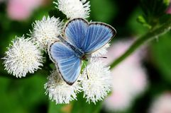 Pale Grass Blue Stock Photography