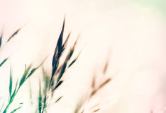 Pale grass Royalty Free Stock Photo