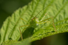 Pale Green Assassin Bug Zelus luridus Royaltyfri Fotografi