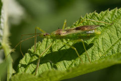 Pale Green Assassin Bug Zelus luridus Arkivfoto