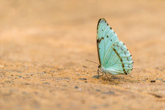 Pale green butterfly perched on sandy ground stock photo