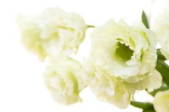 Pale green double flower. Pale green double eustoma flower in front of white background Stock Images