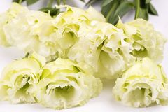 Pale green double flowers. Pale green double eustoma flowers on white paper Stock Photo