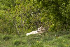 Pale grey adult wolf lying down relaxed on grassy hill royalty free stock images