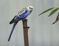 Pale-headed rosella. A pale-headed rosella perches on a garden stake Royalty Free Stock Image