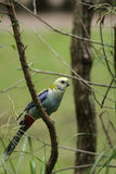 Pale-headed Rosella (Platycercus adscitus) Stock Image