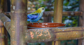 Pale-headed Rosella Stock Image