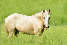 Pale Horse Royalty Free Stock Photography