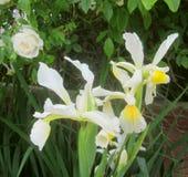 Pale Iris blommor och en ros royaltyfri fotografi