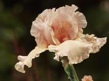 Pale iris bud Stock Image