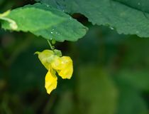 Pale Jewelweed – Impatiens pallida Royalty Free Stock Images