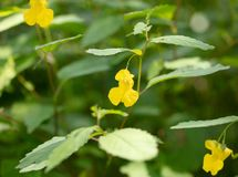 Pale Jewelweed Blossom stock photos
