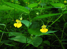 Pale Jewelweed in Flower Stock Photos