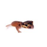 Pale Knob-tailed Gecko, On White Stock Photo