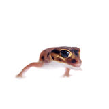 Pale Knob-tailed Gecko, on white Royalty Free Stock Photos