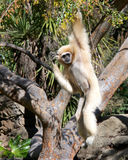 Pale Lar Gibbon hanging in tree scratching head Stock Images