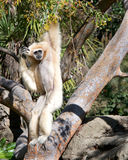 Pale Lar Gibbon hanging in tree scratching head Stock Photography