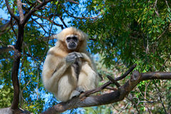 Pale Lar Gibbon sitting in a tree Royalty Free Stock Images