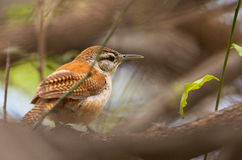 Pale-legged Hornero bird close-up Stock Photography