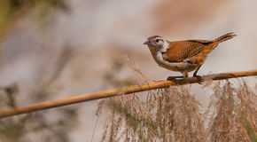 Pale-legged Hornero bird on stick Stock Images