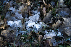 Pale levaes. Lots of pale try leaves on the ground Stock Images