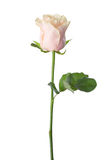 Pale light pink rose . Royalty Free Stock Photography