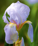 Pale lilac Bearded Iris from New England garden Royalty Free Stock Image