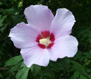 Pale lilac flower of hibiscus syrian with pestle and pollen macro royalty free stock photo