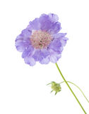 Pale lilac garden Scabiosa Stock Photography