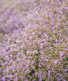 Pale lilac limonium Stock Photography