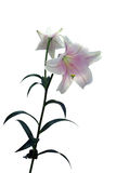 Pale lily branch Stock Image