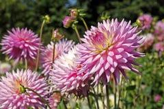 Pale magenta dahlia flower Stock Photos