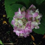 Pale magenta hydrangea Stock Images